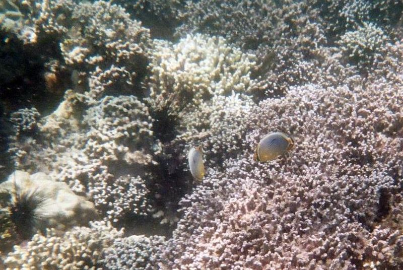 Prison Island Snorkeling - Butterfly Fish