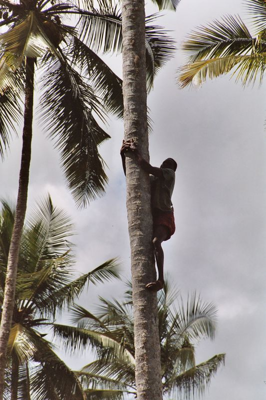 """Butterfly"" Climbs to Fetch Coconuts for Us."