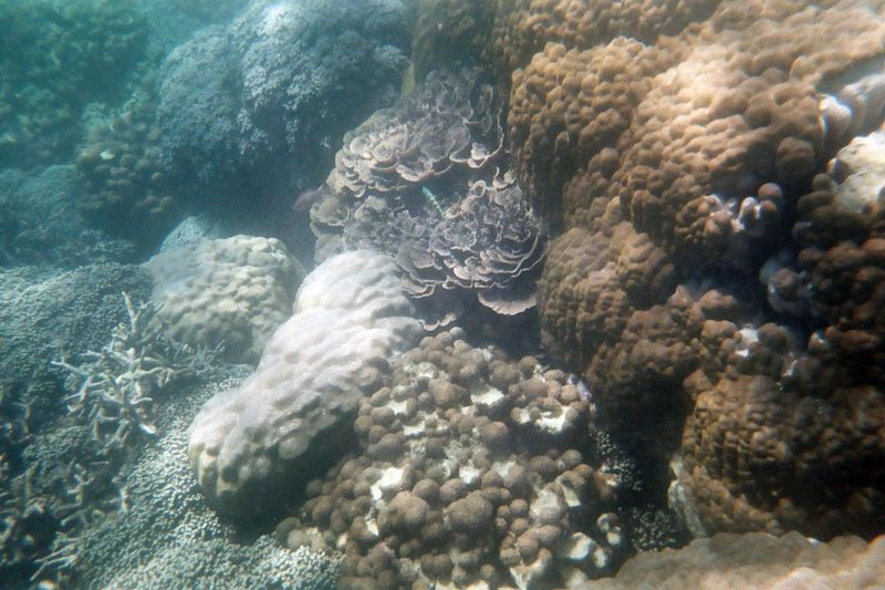 Prison Island Snorkeling - Plate Coral on the Reef