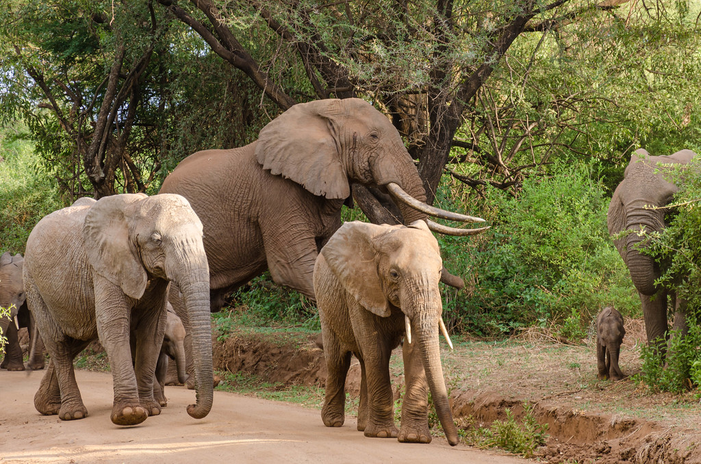 Elephants, Lake Manyara National Park
