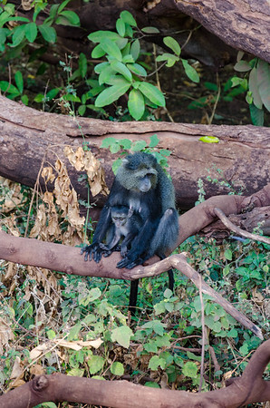 Blue Monkeys, Lake Manyara National Park
