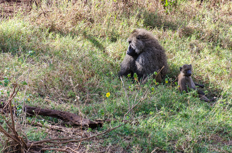 Babaoons, Lake Manyara National Park