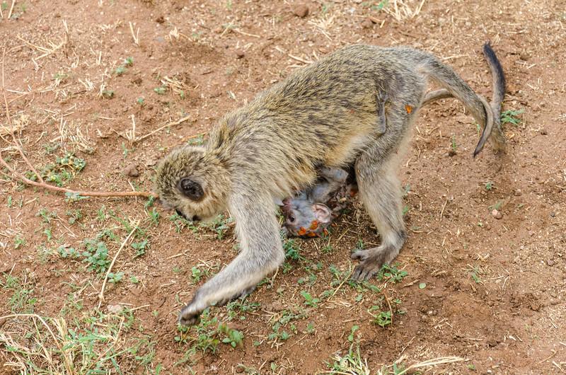 Vervet Monkey & Baby, Lake Manyara National Park