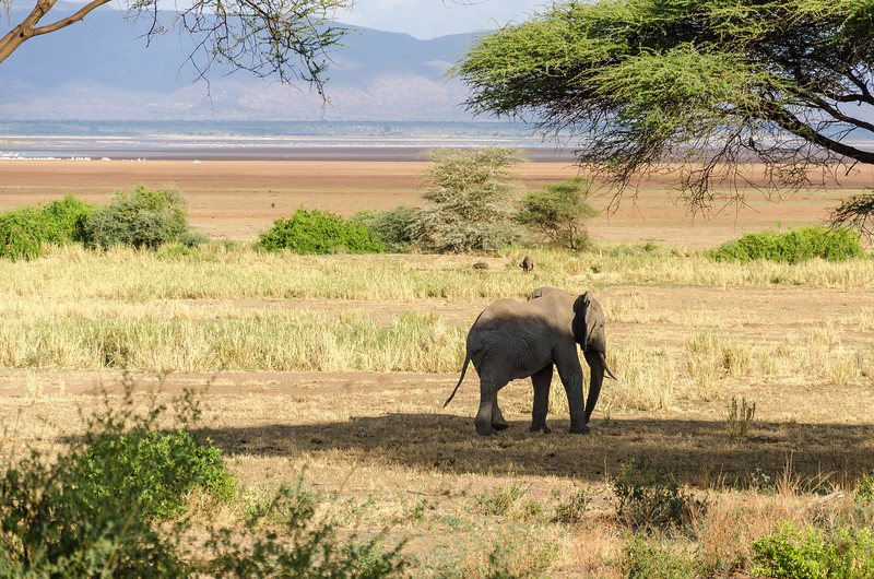Elephant, Lake Manyara National Park