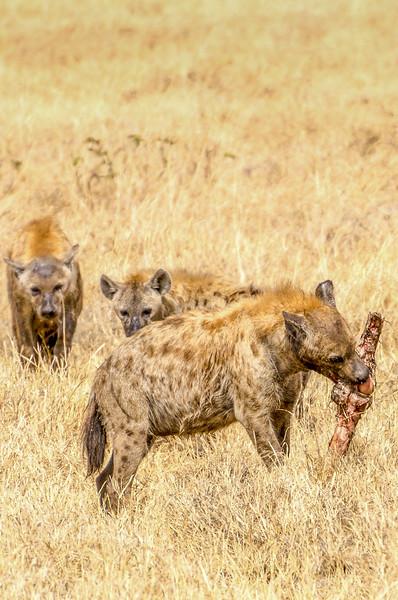 Hyenas, Ngorongoro Crater