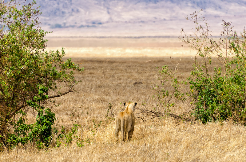 Lioness, Ngorongoro Crater