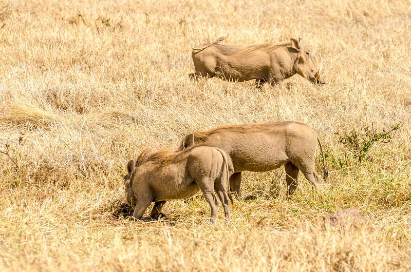 Warthogs, Ngorongoro Crater