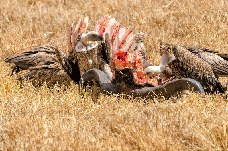Vultures, Ngorongoro Crater