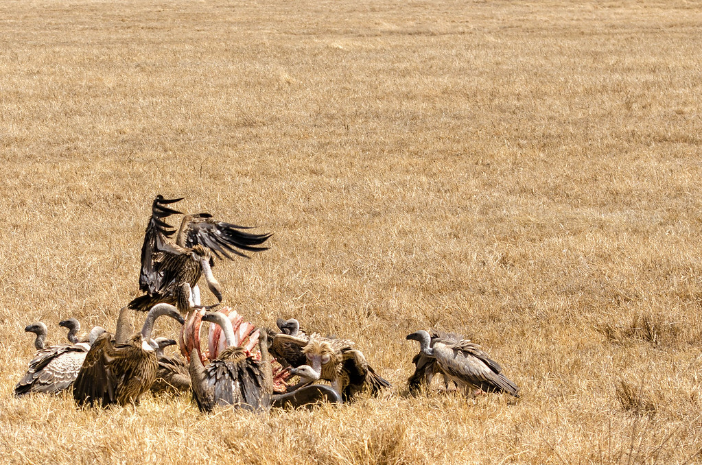 Vultures, Ngorongoro Crater