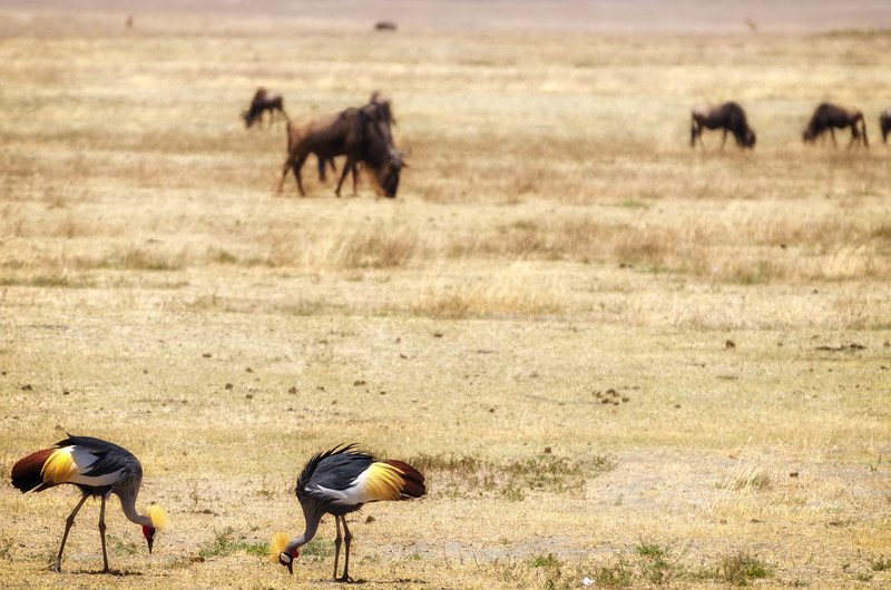 Grey Crowned Cranes, Ngorongoro Crater
