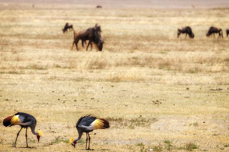 Grey Crowned Cranes, Ngorongoro Crater