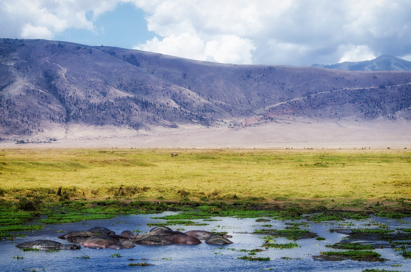 Hippopotamus, Ngorongoro Crater