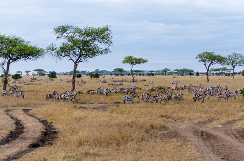 Zebra Herd, Serengeti National Park