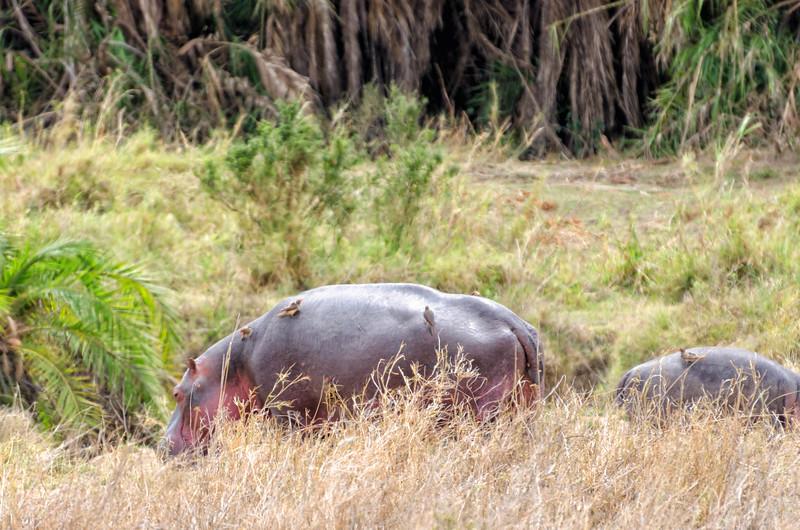 Hippopotamus, Serengeti