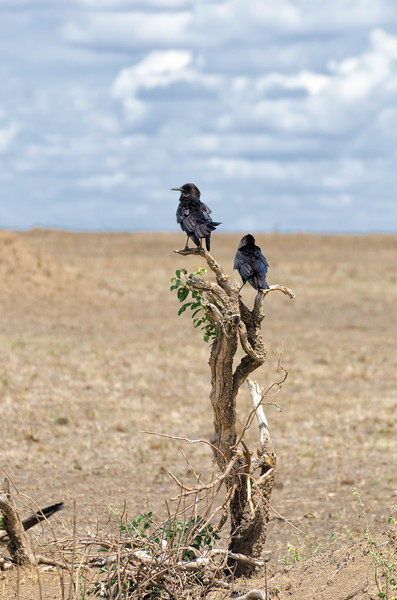 Birds, Serengeti