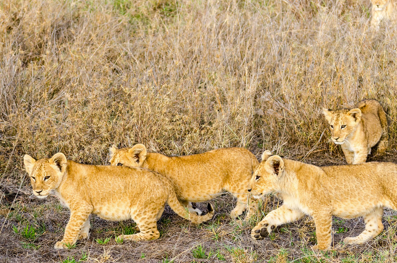 Lion Cubs, Serengeti National Park