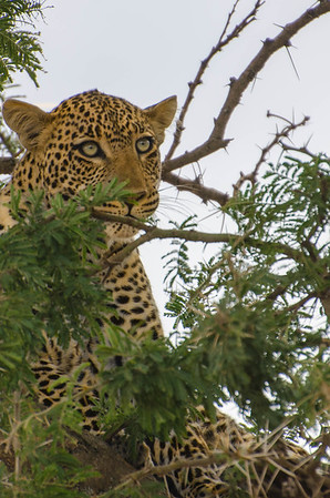 Leopards in Tree, Serengeti