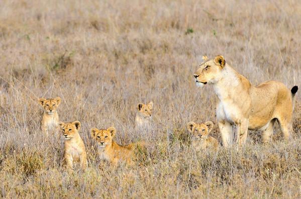 Lioness & Cubs, Serengeti National Park