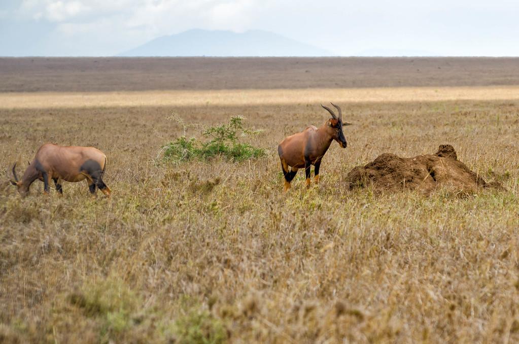 Topi, Serengeti