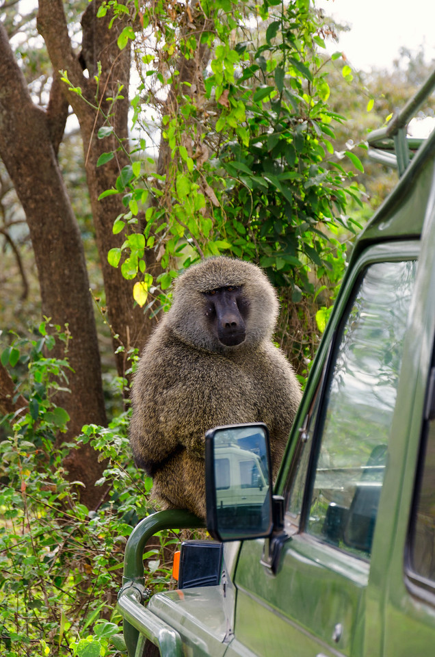 Baboons, Ngorongoro Conservation Area