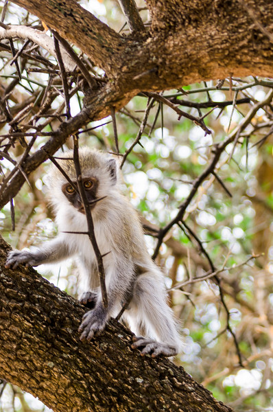 Baby Vervet Monkey, Serengeti Sopa Lodge