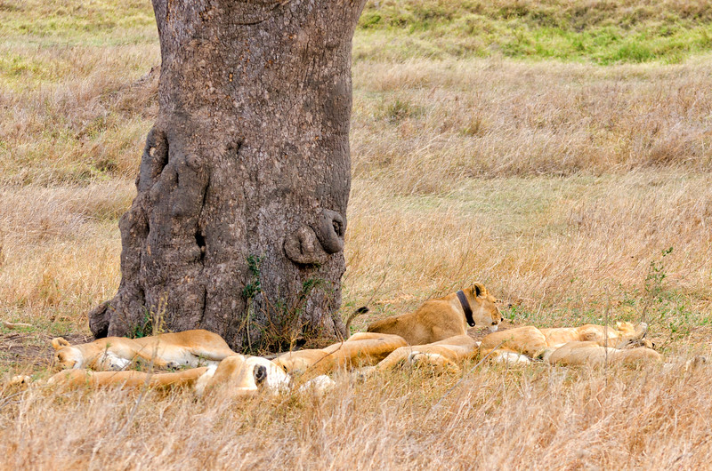 Lions Resting, Serengeti