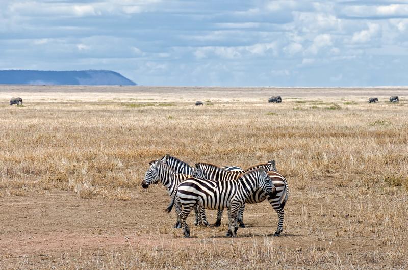 Zebra, Serengeti