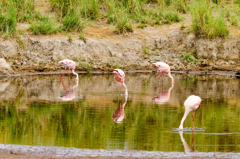 Lesser Flamingo, Serengeti National Park