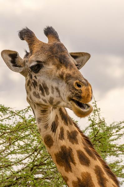 Giraffe, Serengeti