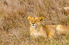 Lion, Serengeti National Park