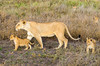 Lioness & Cubs, Serengeti National Park