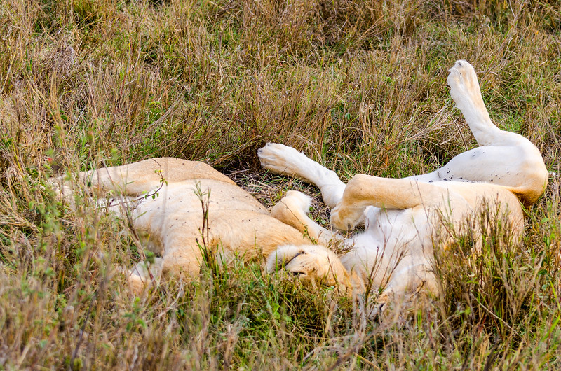 Sleeping Lions, Serengeti National Park