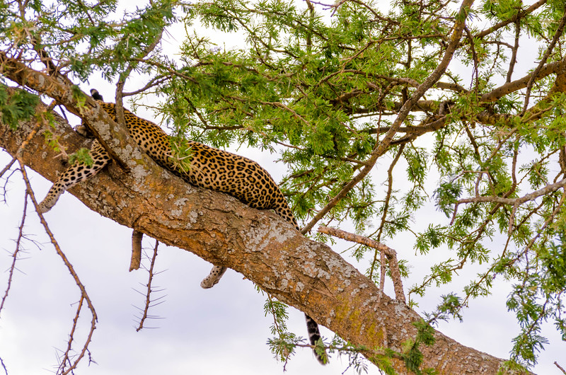 Leopards in Tree, Serengeti