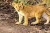 Lion Cub, Serengeti National Park