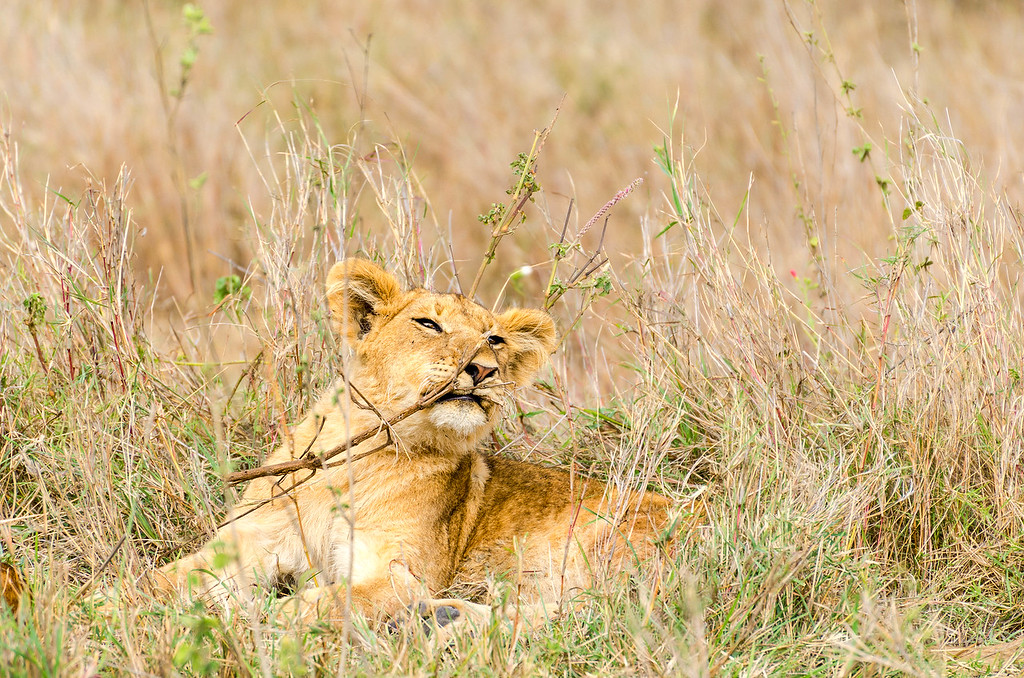 Lion Cub Playing, Serengeti National Park