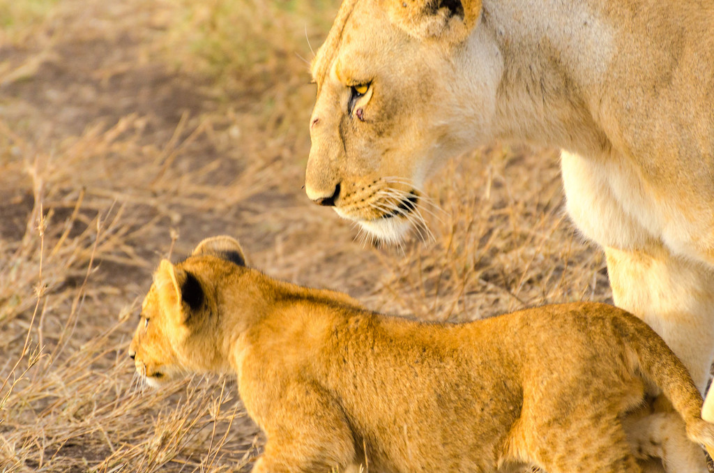 Lioness & Cub, Serengeti National Park