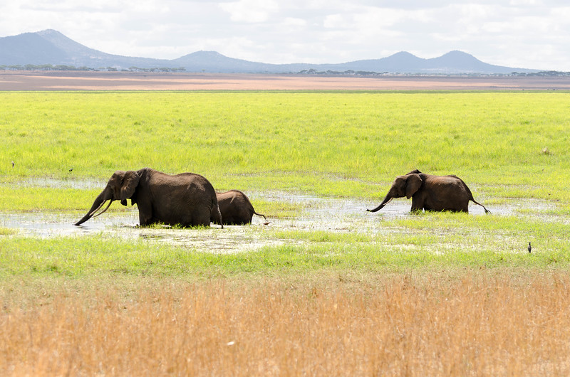 Elephants in Swamp