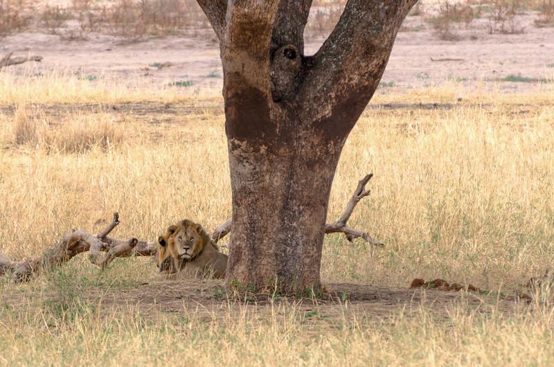 Lions Resting Under Tree