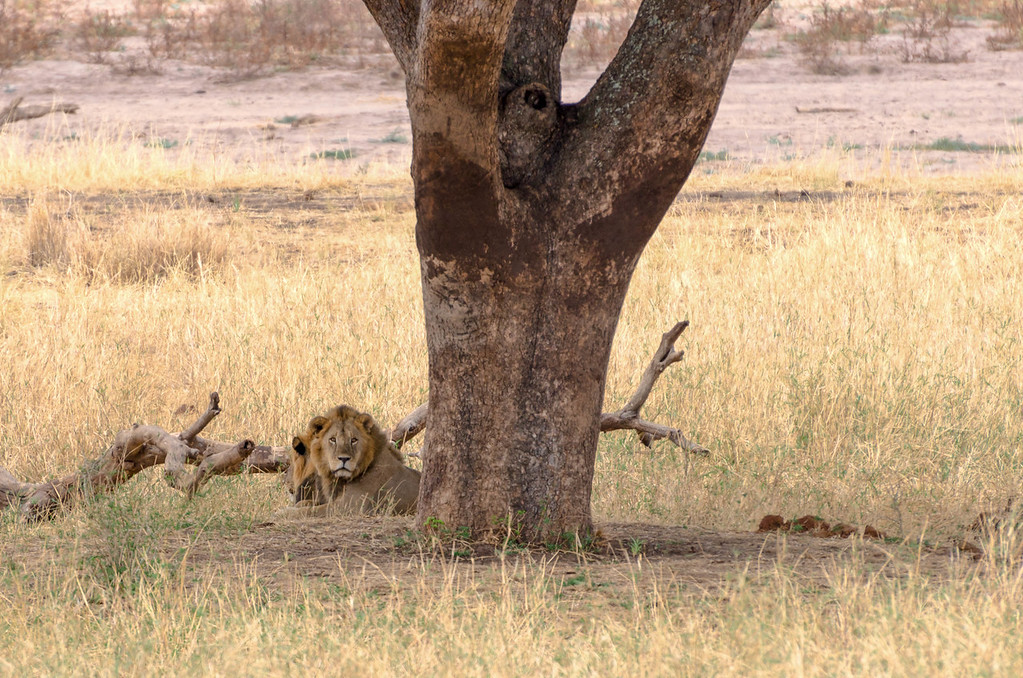 Lions Resting Under Tree
