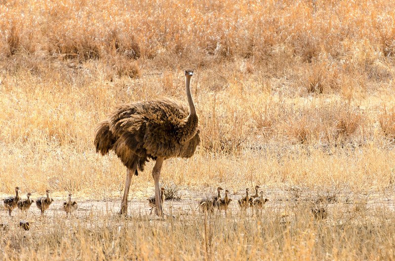 Ostrich Family