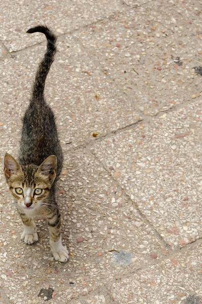 Zanzibar Kitten