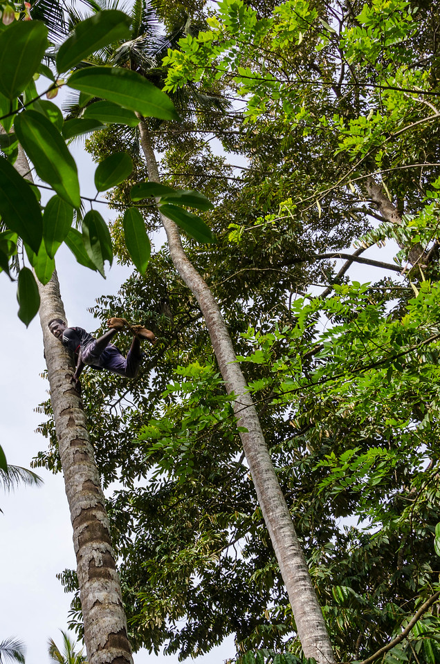 Climbing a Coconut Palm