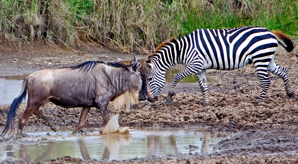 Busting Heads. Illusion, the zebra was crossing behind the wildebeest; just great timing.