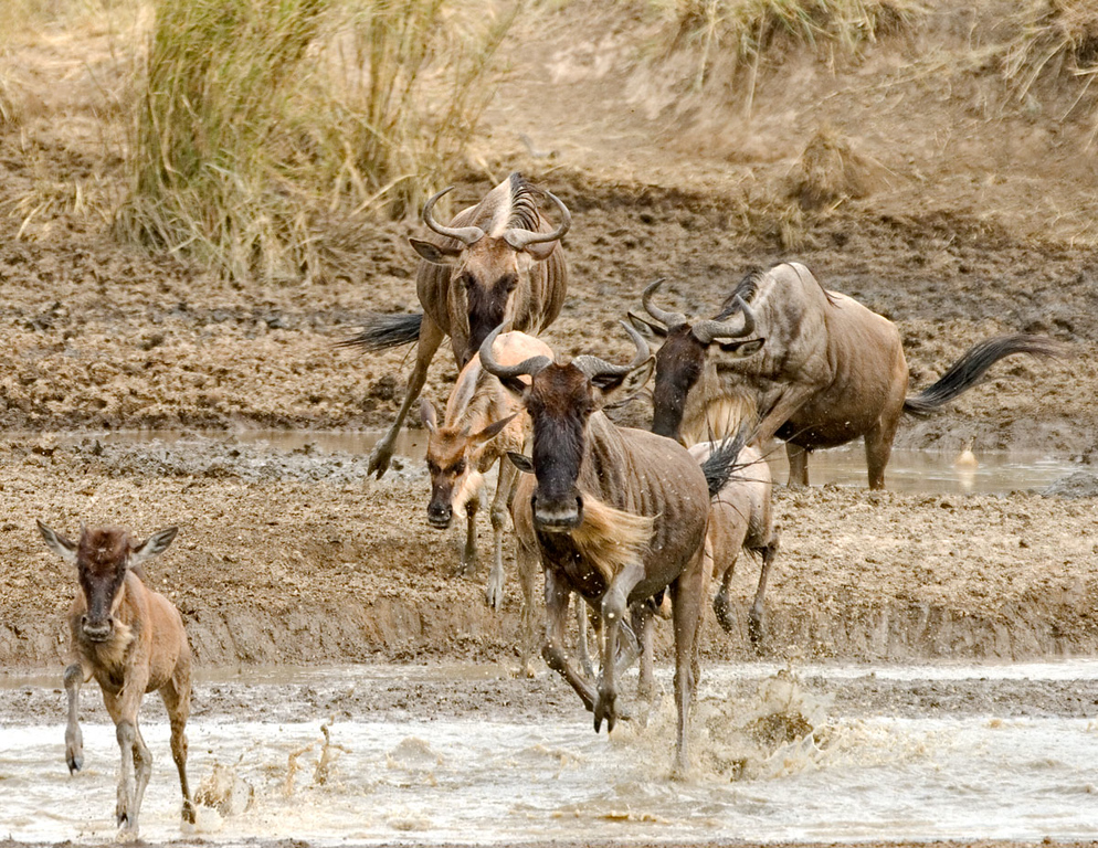 Gnus crossing a river in the South Western Serengeti