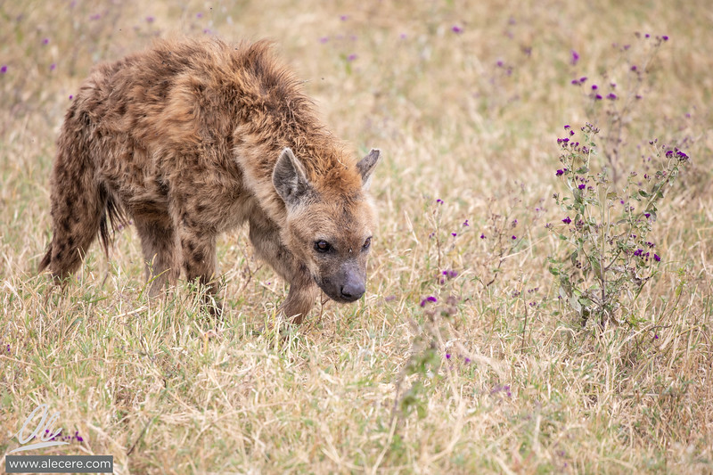 Hyenas in the fields of Ngorongoro