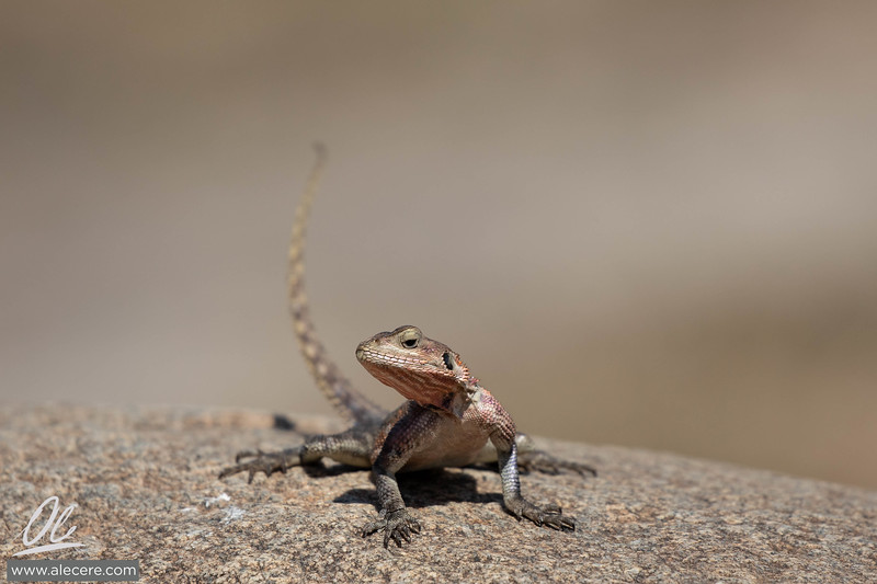 Agama lizard on a rock