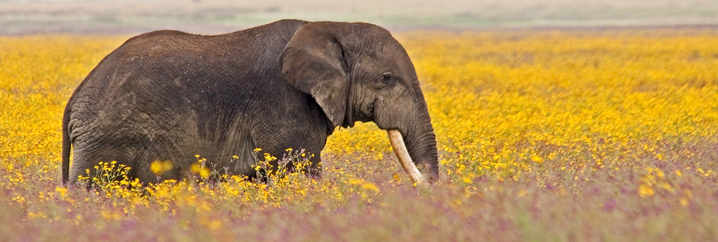 Elephant in field of yellow flowers in Ngorogoro Crater in the spring.