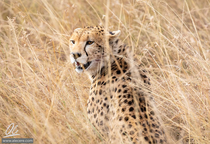Cheetah in the rye