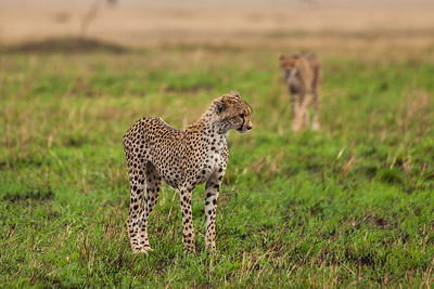 Serengeti National Park, Tanzania A playful young Cheetah in Serengeti National Park.