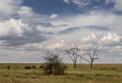 Serengeti National Park, Tanzania African Elephants graze on the plains of Serengeti National Park